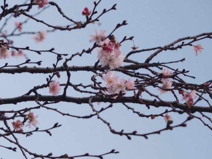 上野 冬桜.jpg