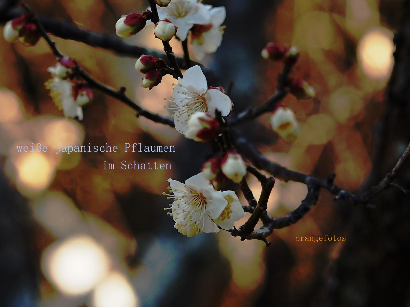Pflaumenblühten 04.02.17.b.jpg