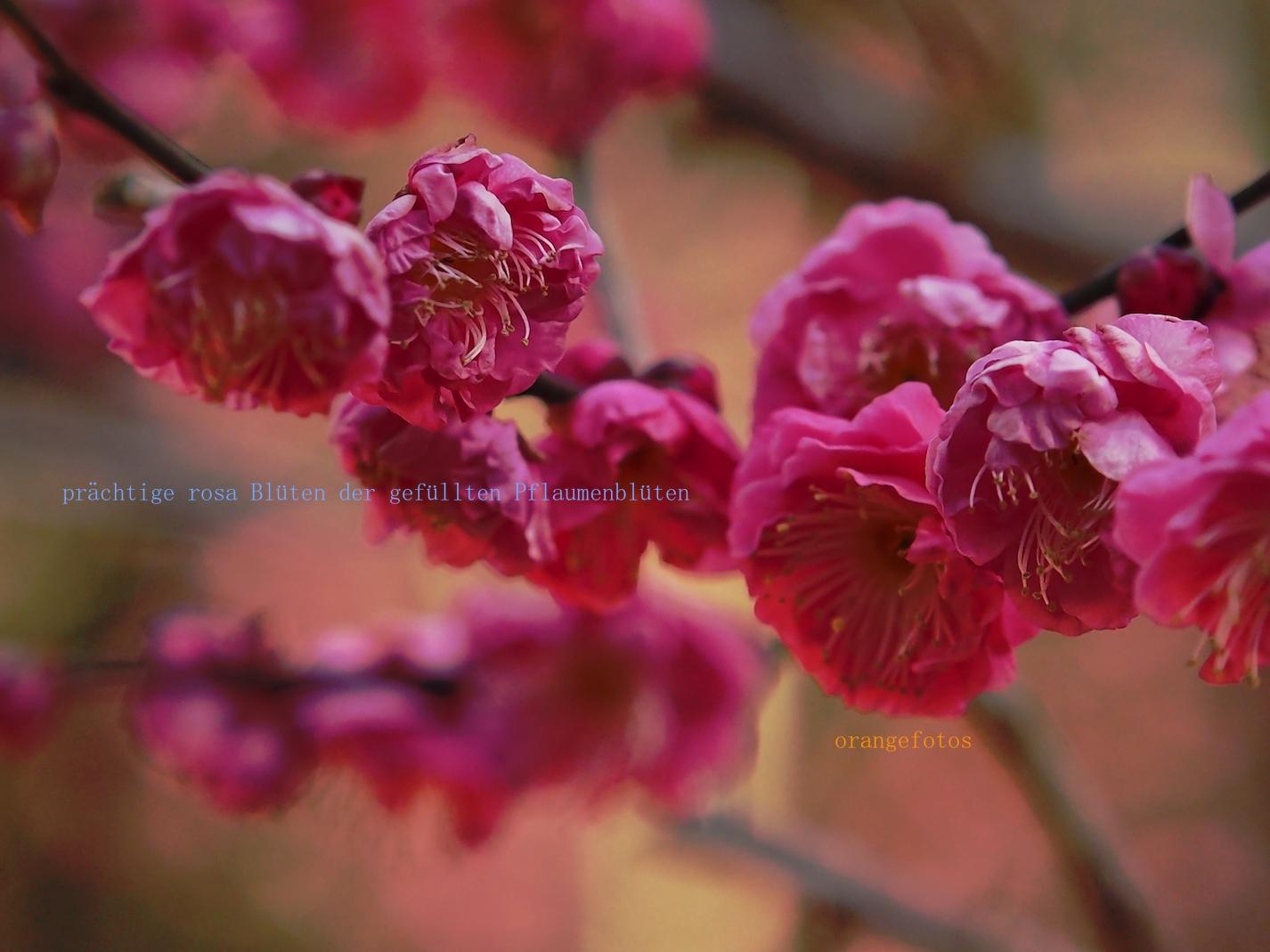 Pflaumenblüten rosa.jpg