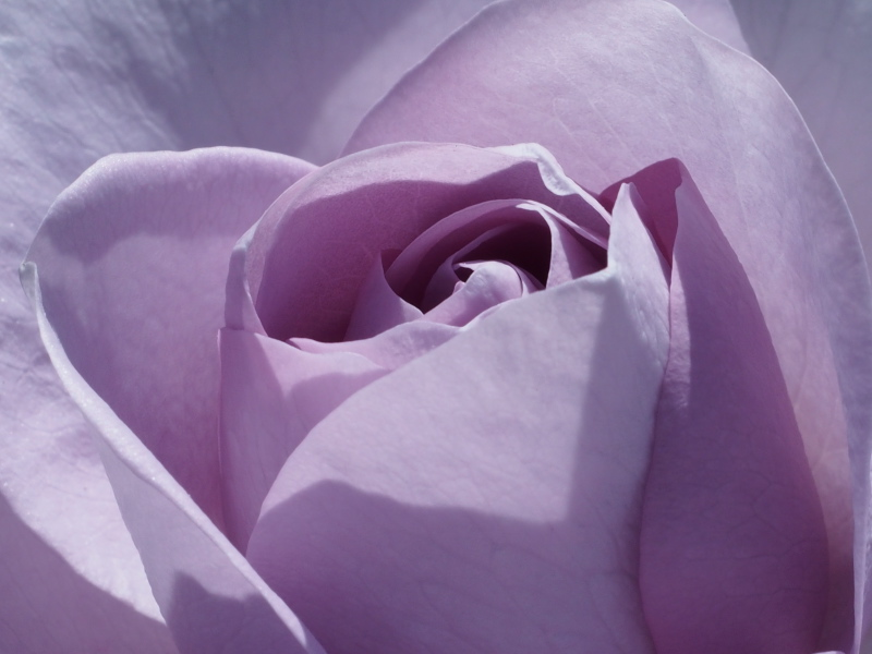 blaue Rose.jpg