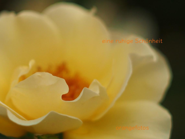 gelbe Rose.jpg
