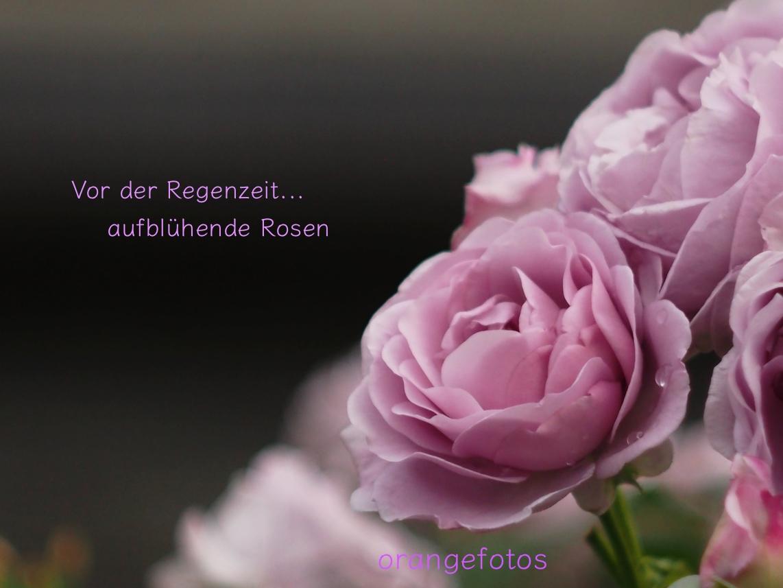 lilafarbene Rose.jpg